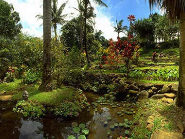 Taro Garden